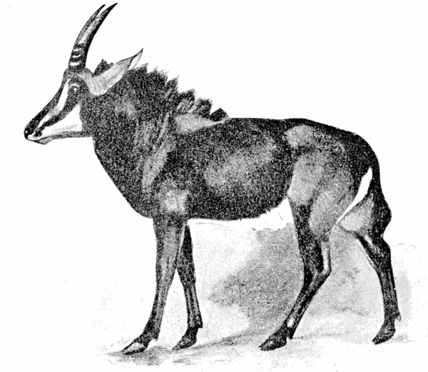 Sable Antelope  Hippotragus niger