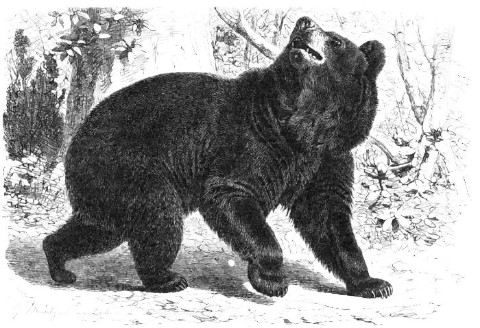 Black bear sketches - photo#21