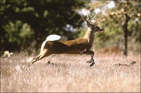 Фото оленей в лесу