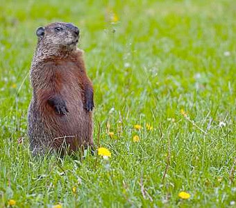 Difference Between Woodchuck and Beaver