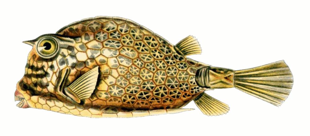 scrawled cowfish acanthostracion quadricornis   animals clip art of fishing lures clip art of fishing boats