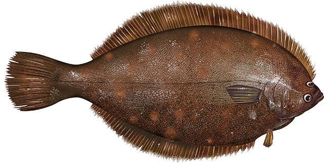 Winter flounder animals aquatic fish f flatfish winter for Winter flounder fishing