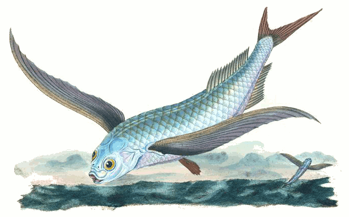 Tropical two wing flyingfish exocoetus volitans animals for Flying fish name