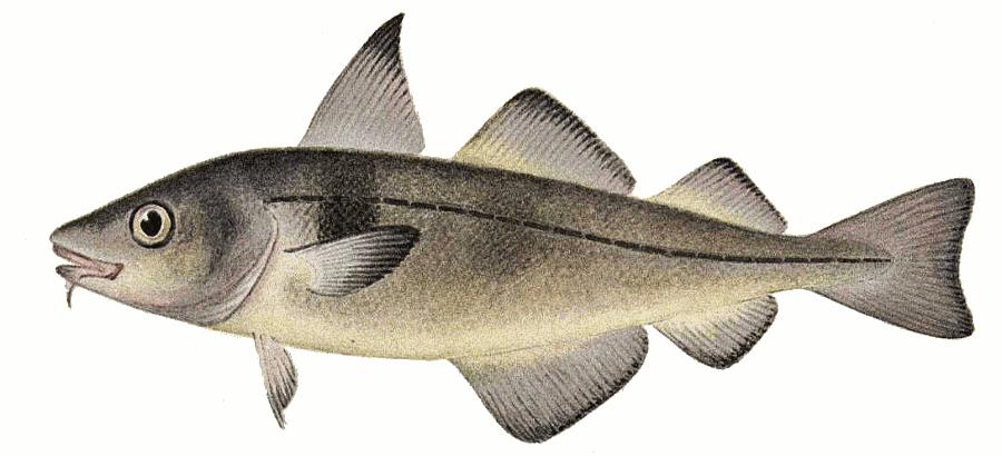 haddock clipart   animals  aquatic  fish  h  haddock  haddock clip art of fishing lures clip art of fishing