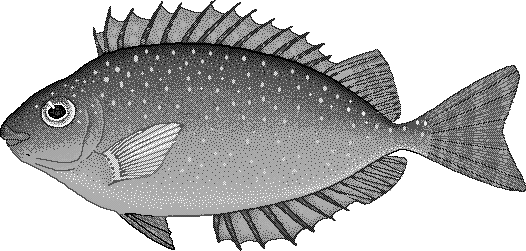 white spotted spinefoot siganus canaliculatus   animals clip art of animals with horns clipart of animals in black and white