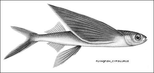 Flying Fish Art Flying Fish Clip Art