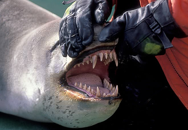 Leopard Seal Teeth  Animals  Aquatic  Seal  Leopard Seal