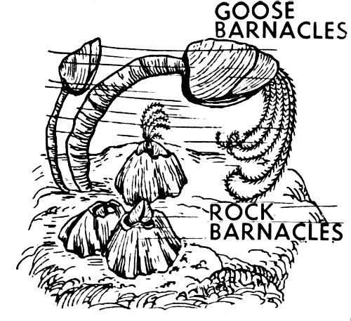 Gooseneck Barnacle Drawing Barnacles