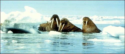 walrus 2 - /animals/aquatic/walrus/walrus_2.png.html
