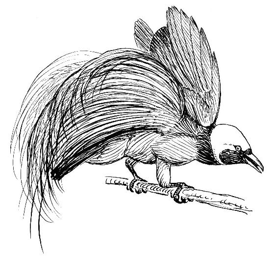 bird of paradise bw animalsbirdsbbirdofparadisebw