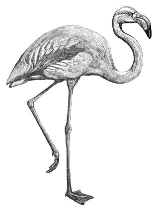 Flamingo Bw Animals Birds F Flamingo Flamingo Bw Png Html