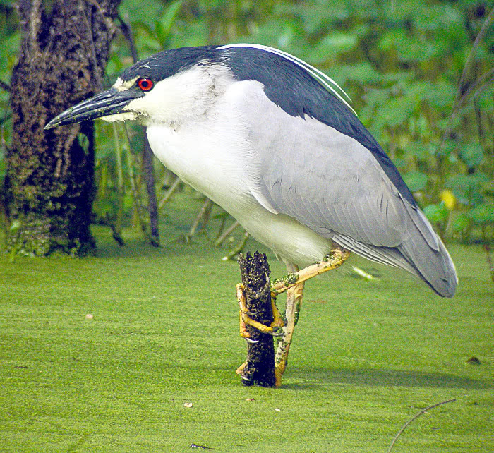 Black-Crowned Night Heron - /animals/birds/H/heron/Heron_2/Black ...