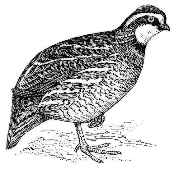 clipart of quail - photo #46