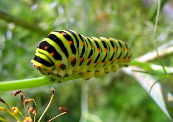 Papilio machaon  Swallowtail caterpillar