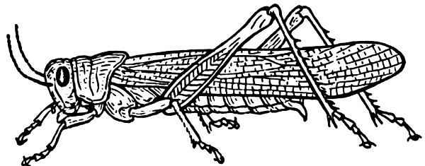 Clip Art Grasshopper. grasshopper BW