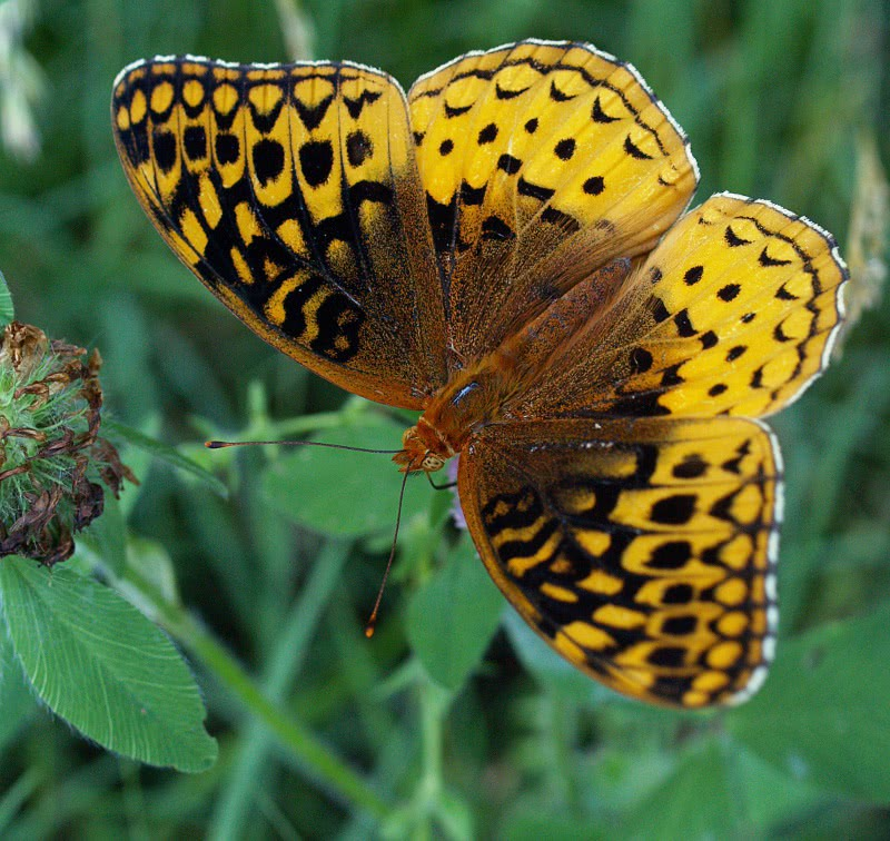 greater fritillary   animals  bugs  butterfly  butterfly butterfly clipart images free butterfly clipart images free