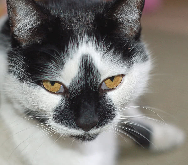 Black And White Cat Breeds Cat Black And White