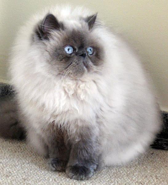 Himalayan Blue Tip Cat