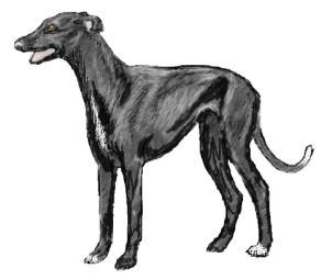 Greyhound Black Standing Animals Dogs G Greyhound