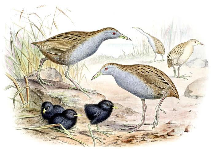 Laysan Rail - /animals/extinct/birds/Laysan_Rail.jpg.html