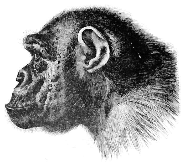 chimpanzee profile   animals  primates  chimp  chimpanzee Chimpanzee Coloring chimpanzee clipart free