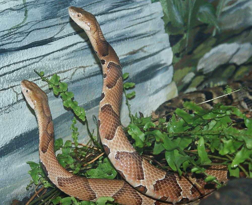 osage copperheads agkistrodon contortrix phaeogaster snake clip art for kids snack clipart