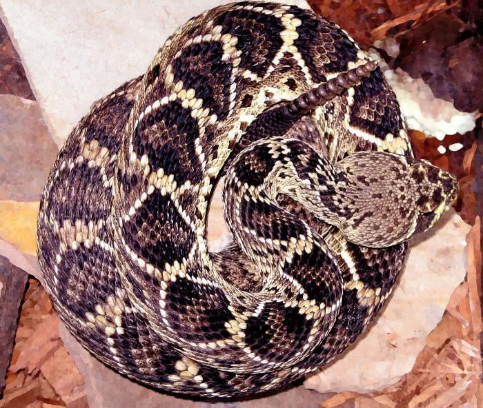Eastern Diamondback rattlesnake  Crotalus adamanteus