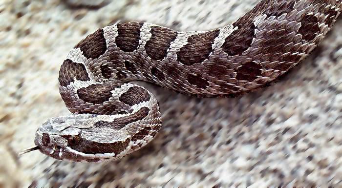 Massasauga Rattlesnake Western massasauga rattlesnake