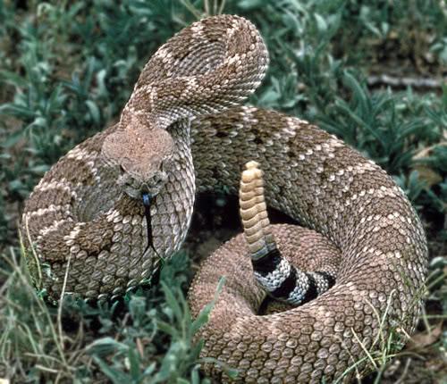 Rattlesnake Strike Position Animals Snake Rattlesnake