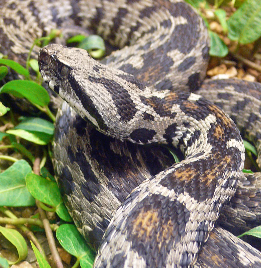 ocellated mountain viper vipera wagneri   animals  snake clip art mountain side clip art mountain background