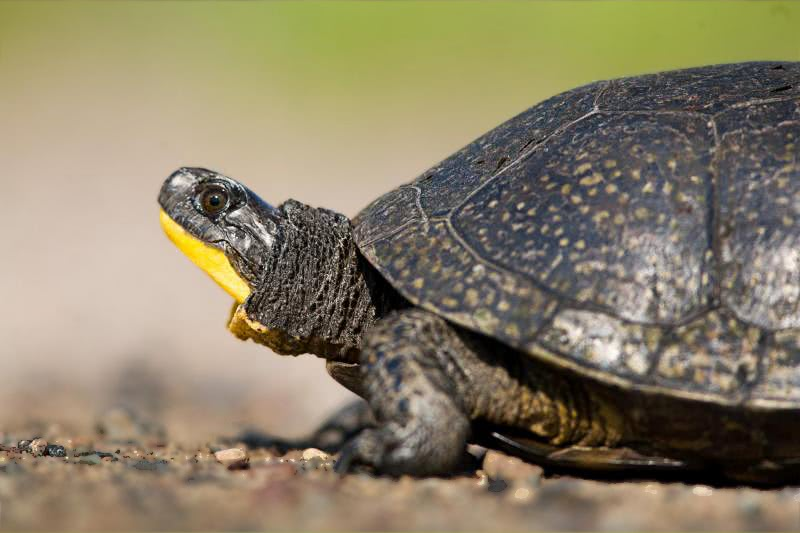 blandings turtle profile   animals  turtle  blandings clip art turtle / tie/ top/ table/ train clip art turtle images