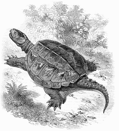 snapping turtle drawing animals turtle snapping turtle snapping turtle. Black Bedroom Furniture Sets. Home Design Ideas