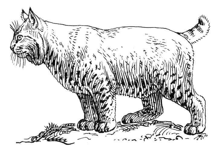 baby bobcat coloring pages - photo #48