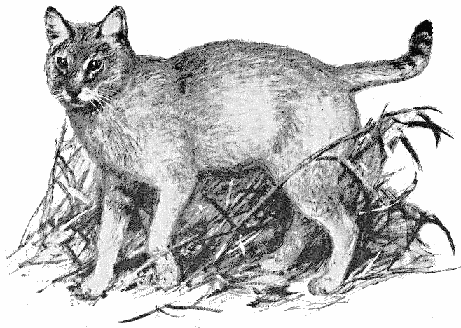 jungle cat sketch   animals  wild cats  jungle cat  jungle cats clipart etc cats clipart etc