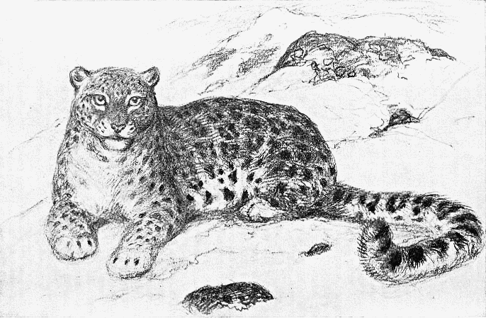 Snow leopard drawing - photo#26