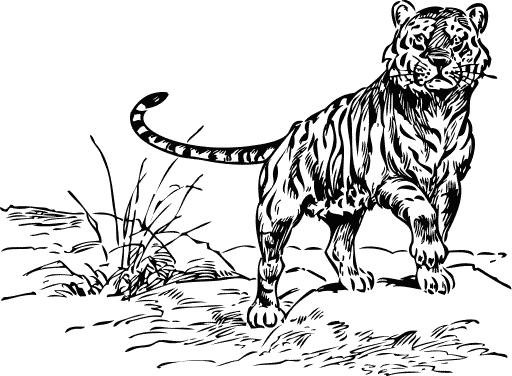tiger walking sketch -...