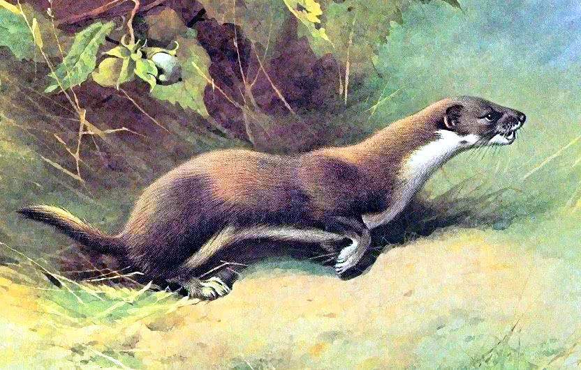 weasel illustration   animals  w  weasel  weasel weasel clipart free weasel funny clipart