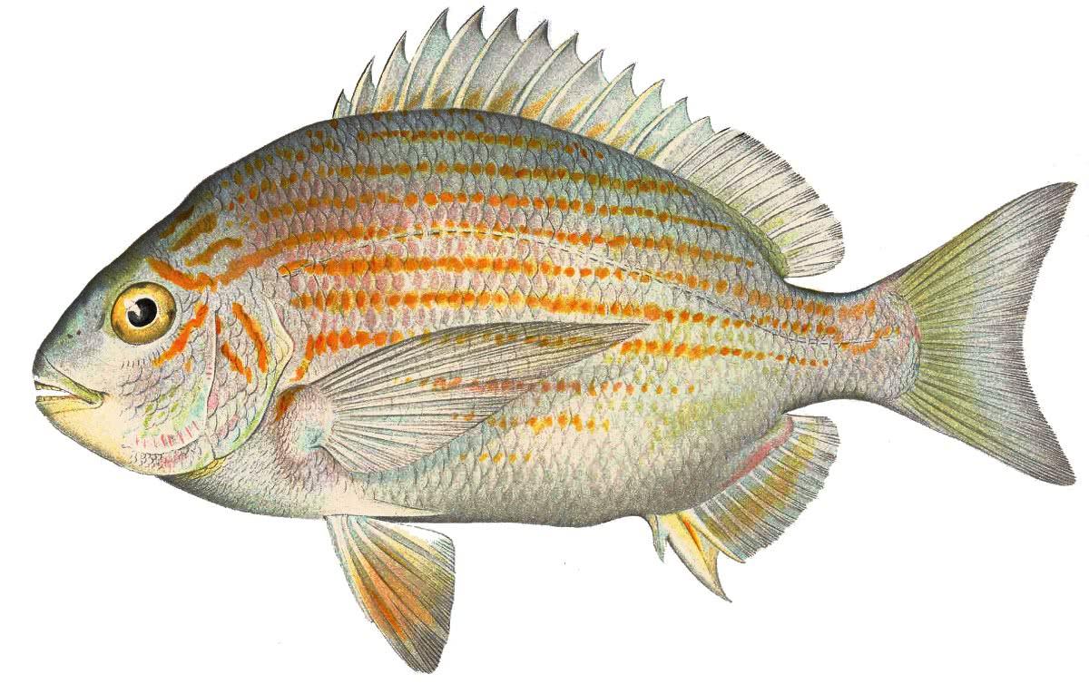 Western atlantic seabream archosargus rhomboidalis for 104 7 the fish