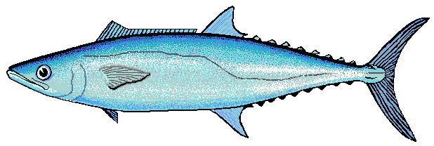 mackerel clip art - /animals/aquatic/fish/M/mackerel/mackerel_clip_art.png.html