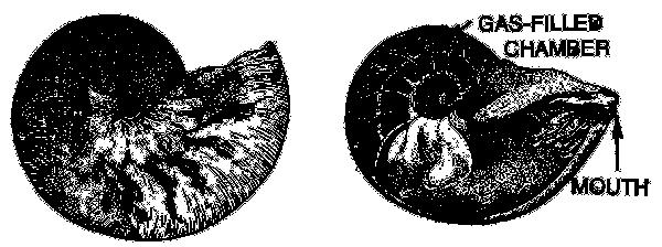Nautilus Diagram  Animals  Aquatic  Shell And Shellfish  Nautilus  Nautilus Diagram Png Html