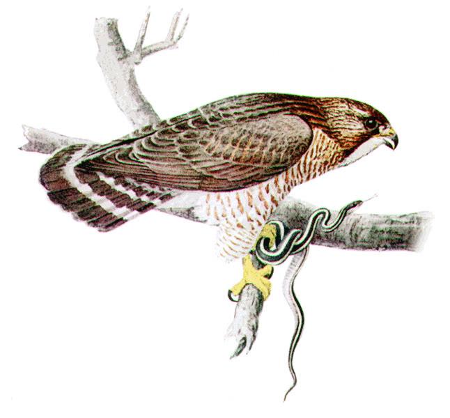 Broad-winged Hawk - /animals/birds/H/hawk/Broad-winged_Hawk.png.html