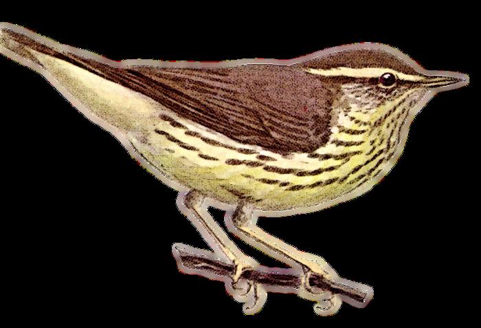 Northern Waterthrush - /animals/birds/W/Waterthrush ...