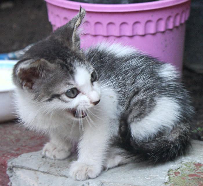 cat australian mist kitten   animals  cats  cat breeds  cat clipart kitchen items clipart kitchen items