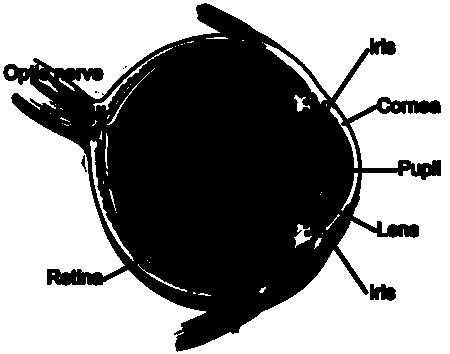 Eye Diagram T on Human Eye Diagram Labeled
