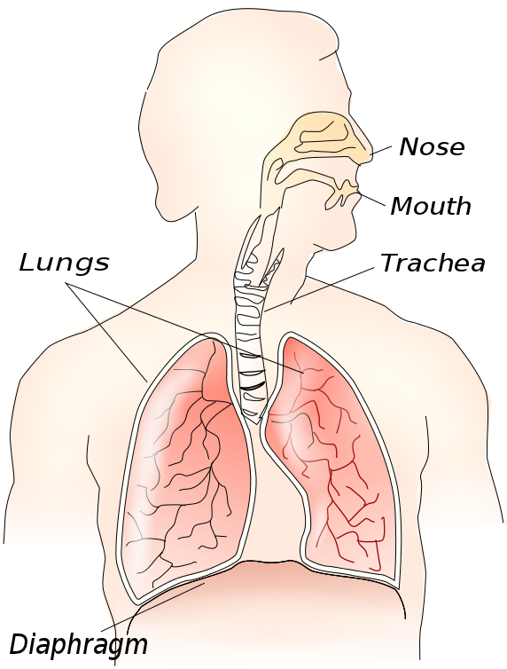 Respiratory and Circulation Systems of the Human Body