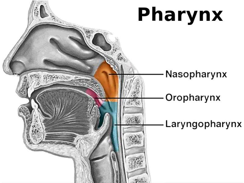 Pharynx  Medical  Anatomy  Mouth And Throat  Pharynx Png Html