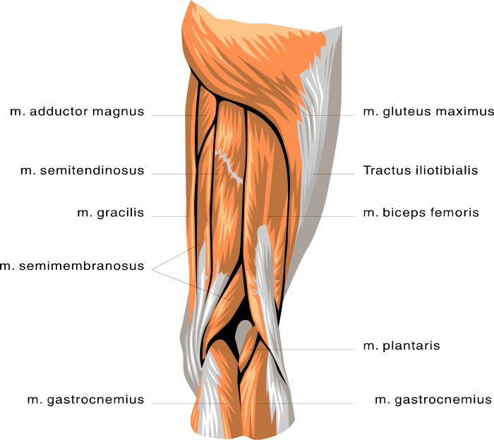 anatomy leg muscles   medical  anatomy  muscle  anatomy leg medical clipart free download medical clipart photos