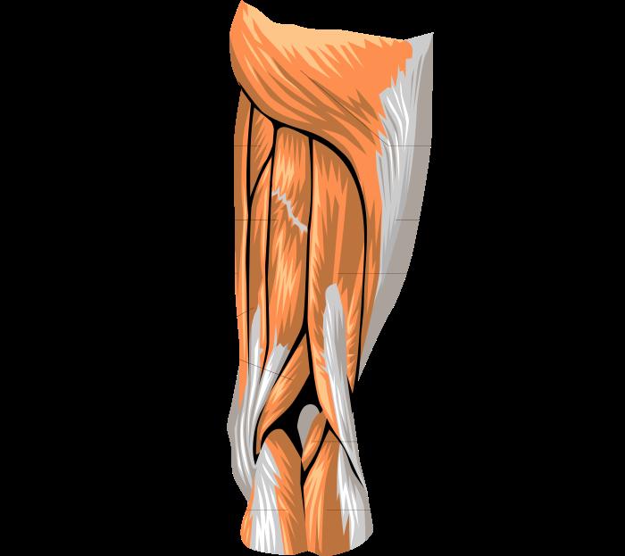 anatomy leg muscles   medical  anatomy  muscle  anatomy leg muscle clip art free muscle clip art images