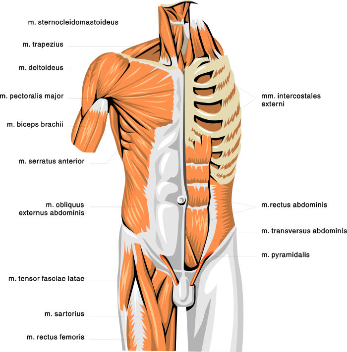 Anatomy muscles 2