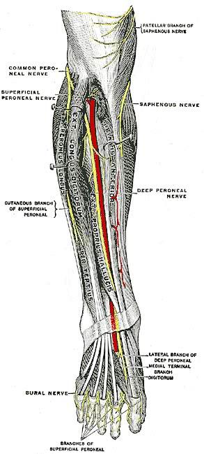 leg lower nerves   medical  anatomy  nervous system  leg black clip art blocks clip art